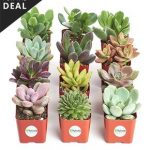 zulily: 12-pc. Live Succulent Sets. $18.99
